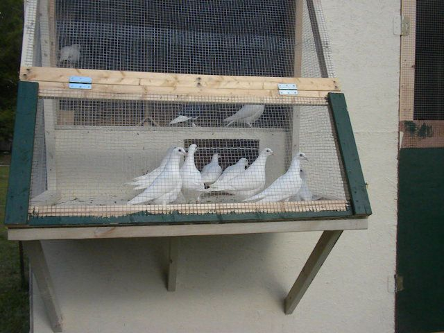 click to open picture in new window. Homing PigeonsHomemadeWood & click to open picture in new window | Pigeon Trap and Bobs ... Pezcame.Com