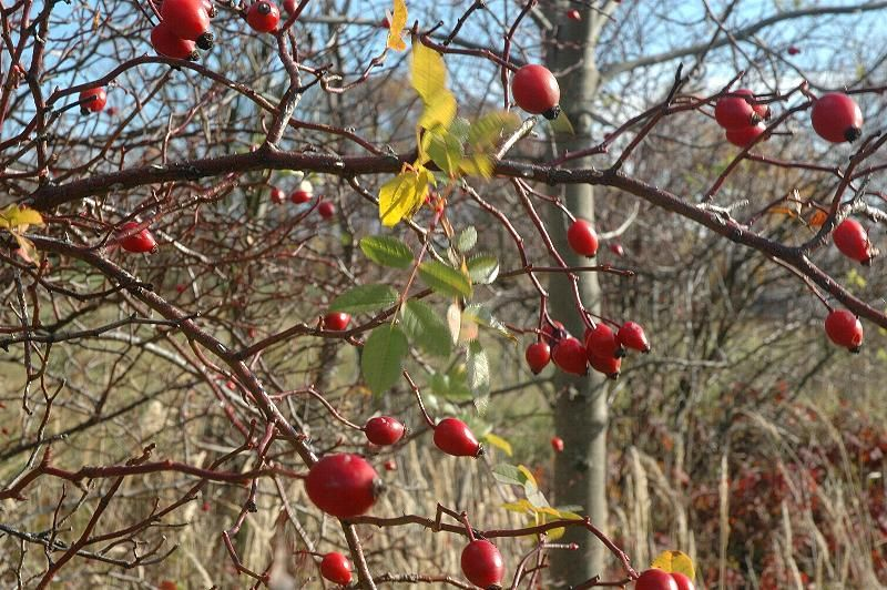 Rosehip Syrup Recipe Easy instructions with photos