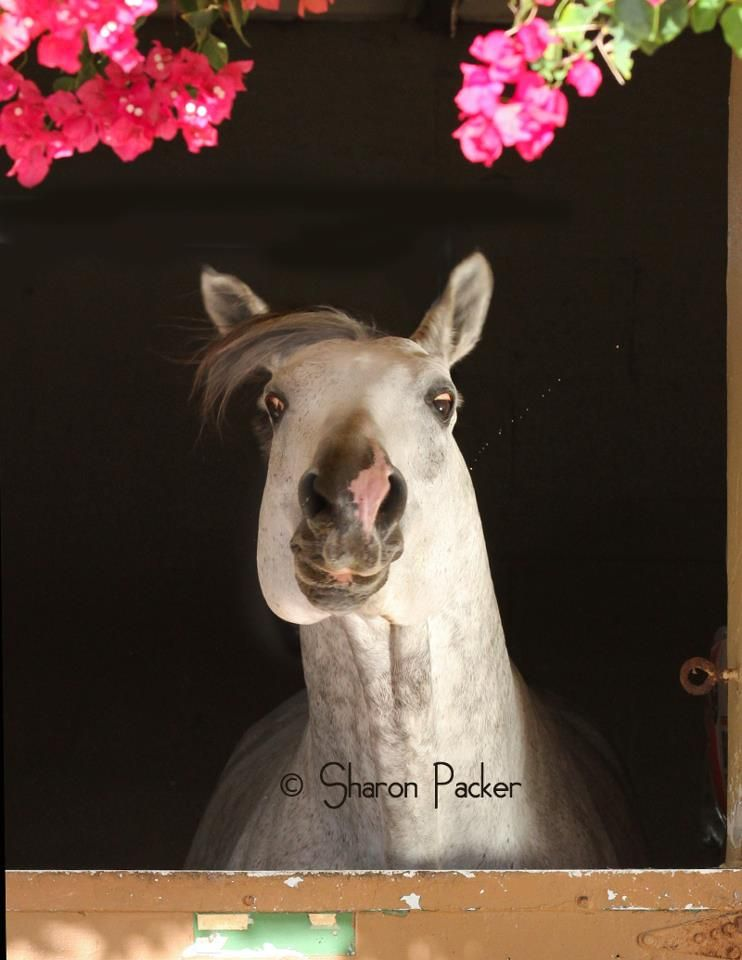 """""""Beware! Horse sneeze."""" by Horse Sports Photography"""