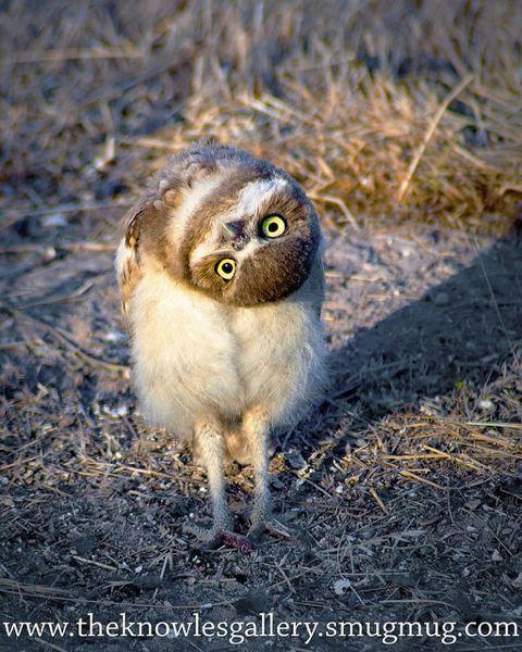 Creepy Baby Owls : creepy