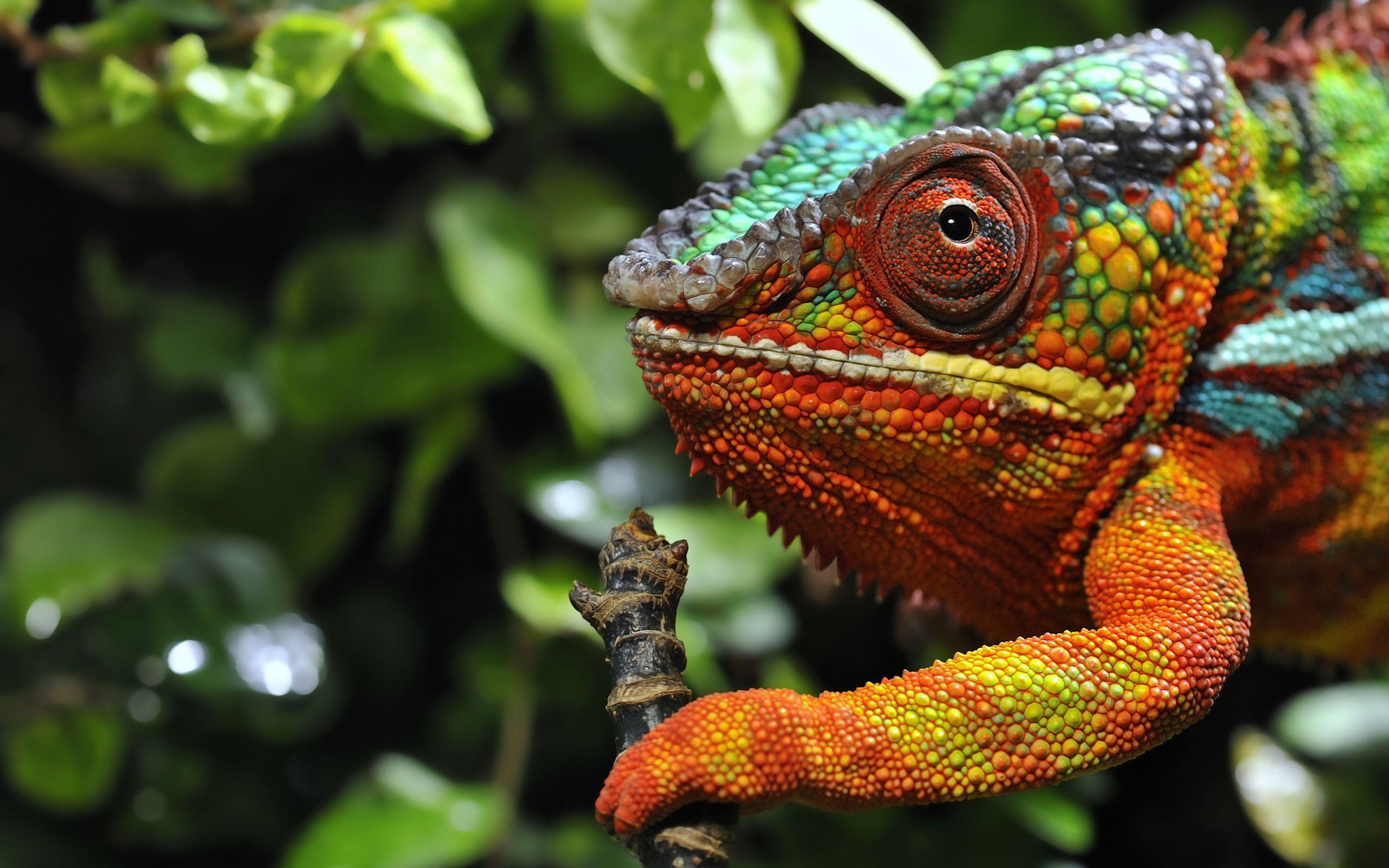 image result for chameleon | chameleon, animal wallpaper
