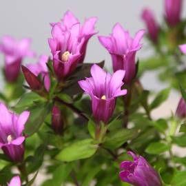 Goryczka Little Pinkie Gentiana Hybrida Albamar Euphorbia Polychroma Dianthus Gratianopolitanus Euphorbia