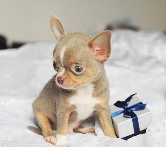 How cute they are! Chihuahua Puppies | sleekchihuahuas | Chihuahua