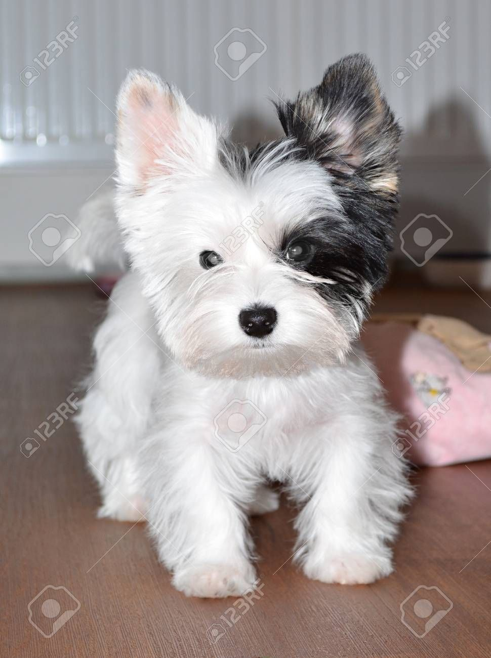 Stock Photo Cute baby dogs, Yorkshire terrier puppies