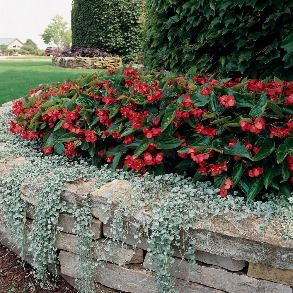 Put A Few Bat Wing Begonias Around That Persicaria Apinter S Pallette Should Look Awesome In 2020 Begonia Dragon Plants Indoor Flowering Plants