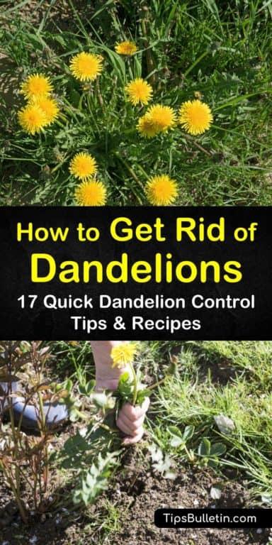 17 Quick Dandelion Control Tips Recipes Get Rid Of Dandelions Dandelion Easy Vegetables To Grow