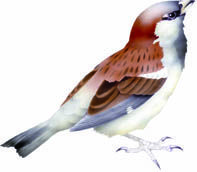 Settlement bird tiu/house sparrow. In CLOAK OF PROTECTION is eaten by cat and stoat