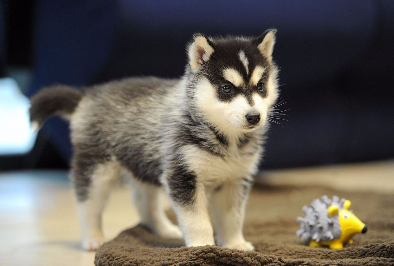 Northern California Pomskies Review California Pomsky Breeder