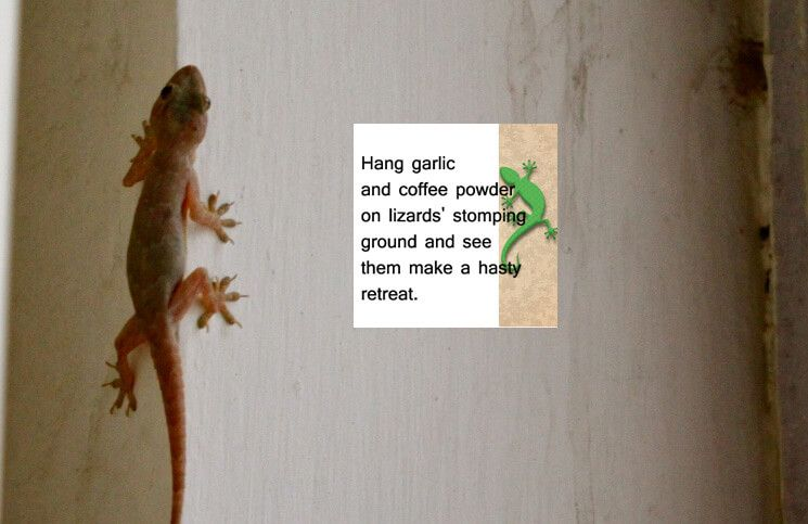 a1a808b23d549edaa9bec1d606d4c5b2 - How To Get Rid Of Wall Lizards At Home