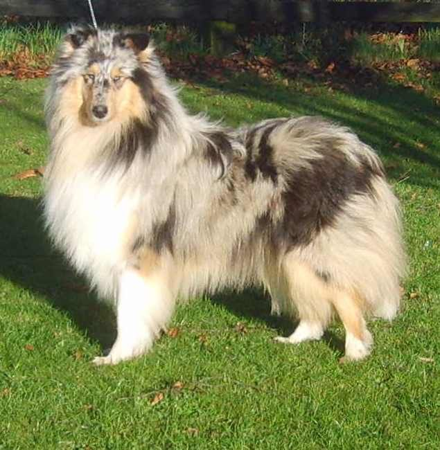 Rough Collie photo | Home - Rowlands Rough Collies