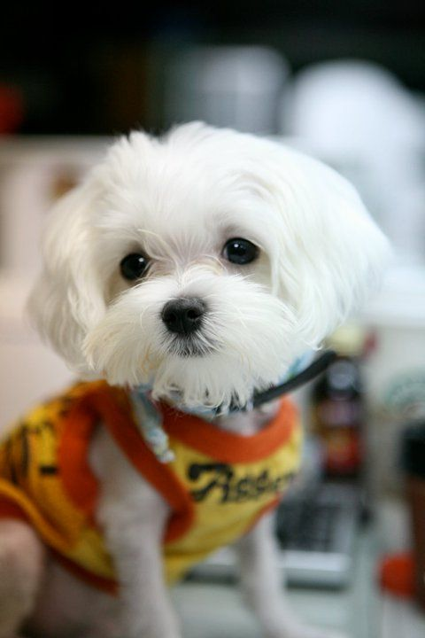 A Rod Was 1 Year Old Maltese Is A Sweet Dog In The World 3