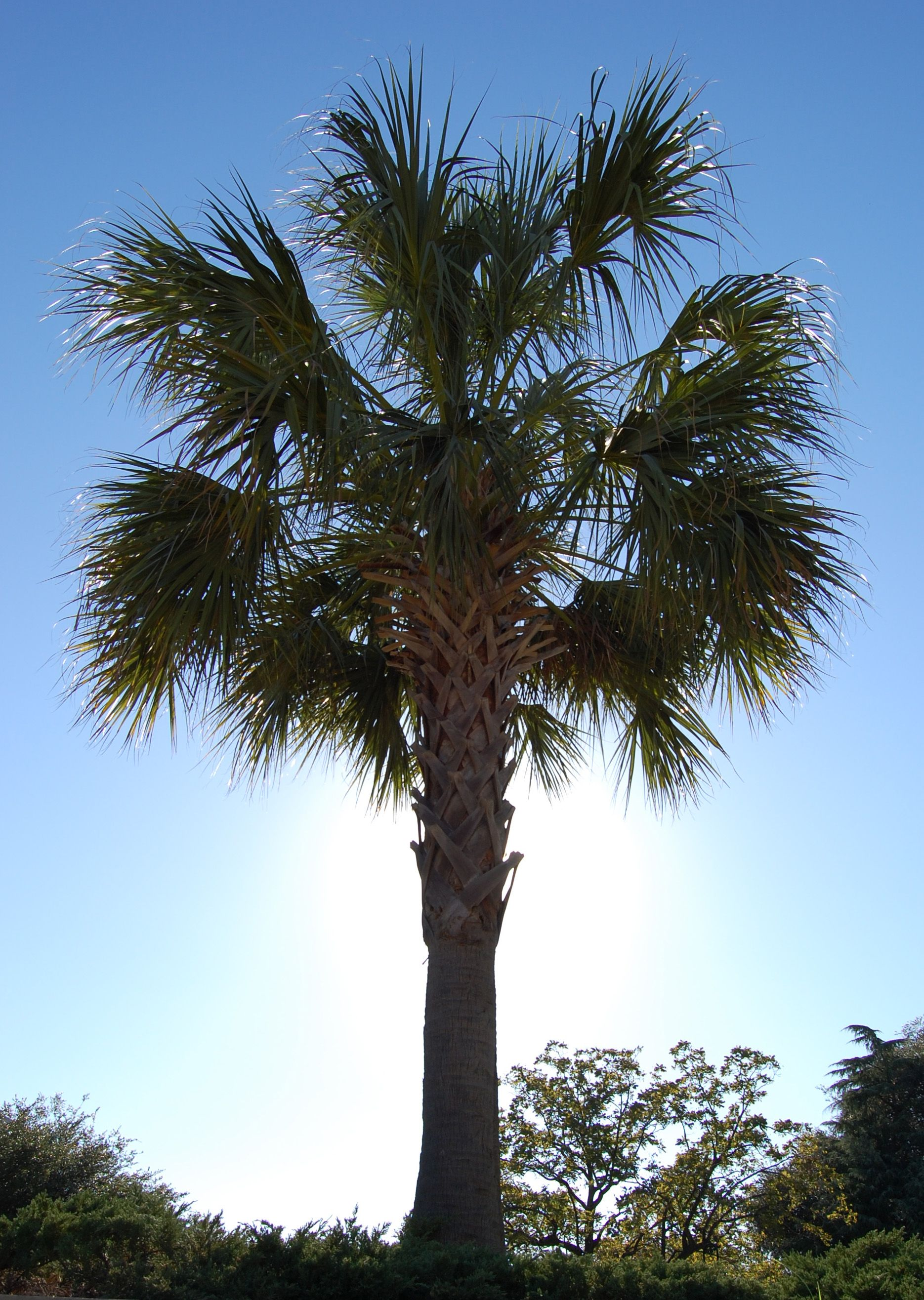 South carolina palmetto tree south carolina state symbols south carolina palmetto tree buycottarizona