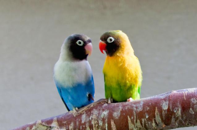 Masked Lovebird Best Pet Birds Love Birds Pet Pet Birds