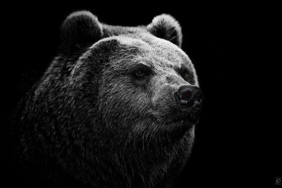 East Siberian Brown Bear by Christian Meermann