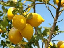 Improved Meyer Lemon Tree   Easy to Grow in your Kitchen or Patio