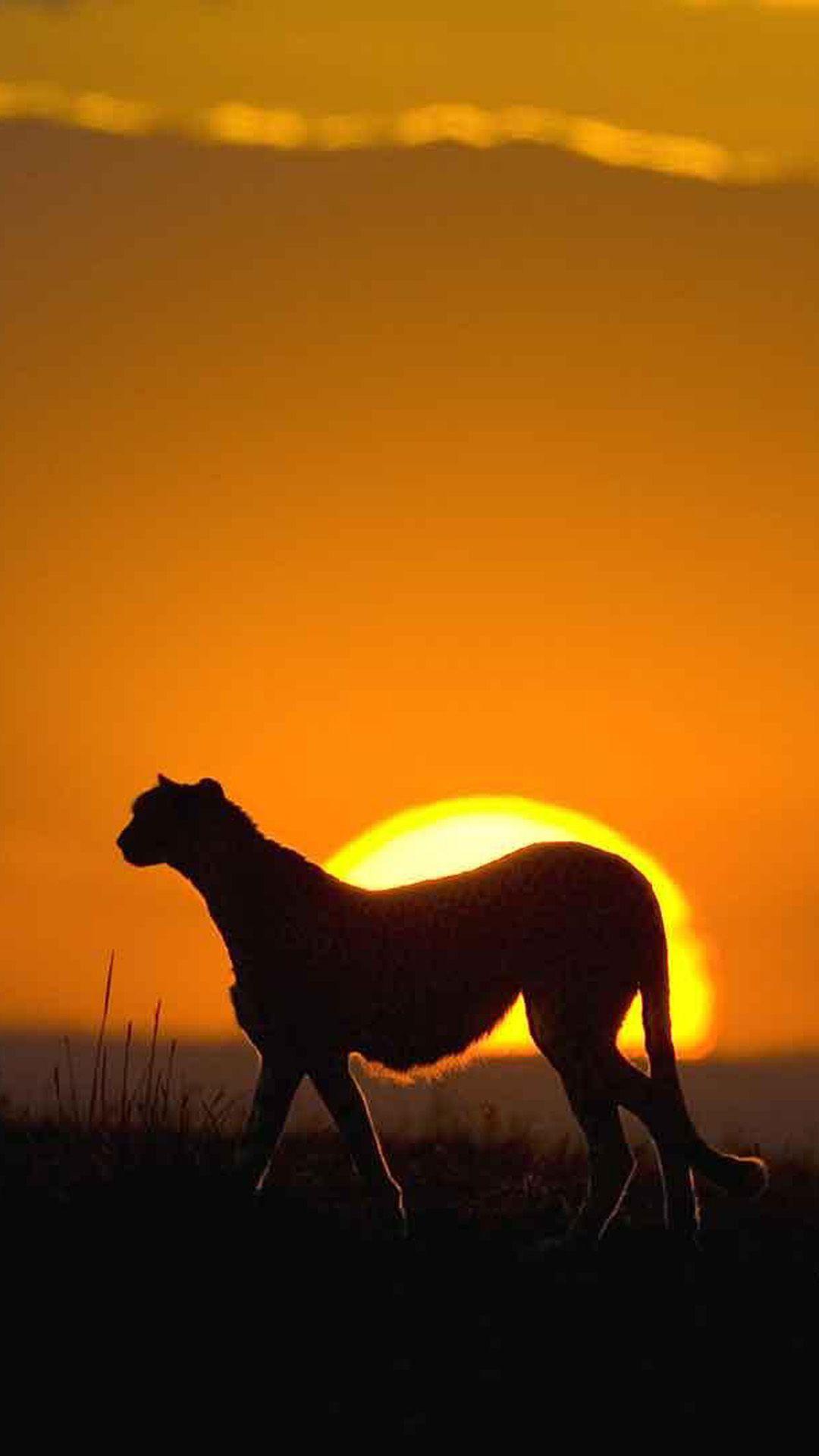 African leopard sunset grassland landscape iphone 6