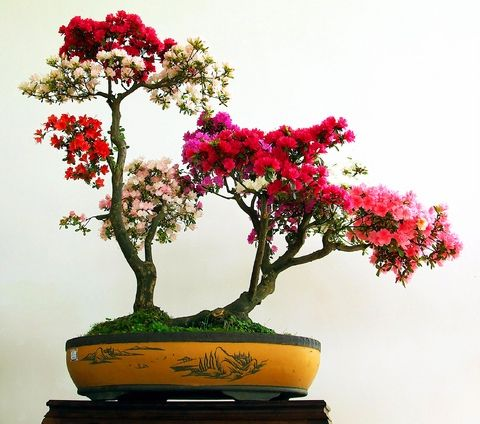 Azalea bonsai tree bonsai saikei kokedama for Bonsais de interior