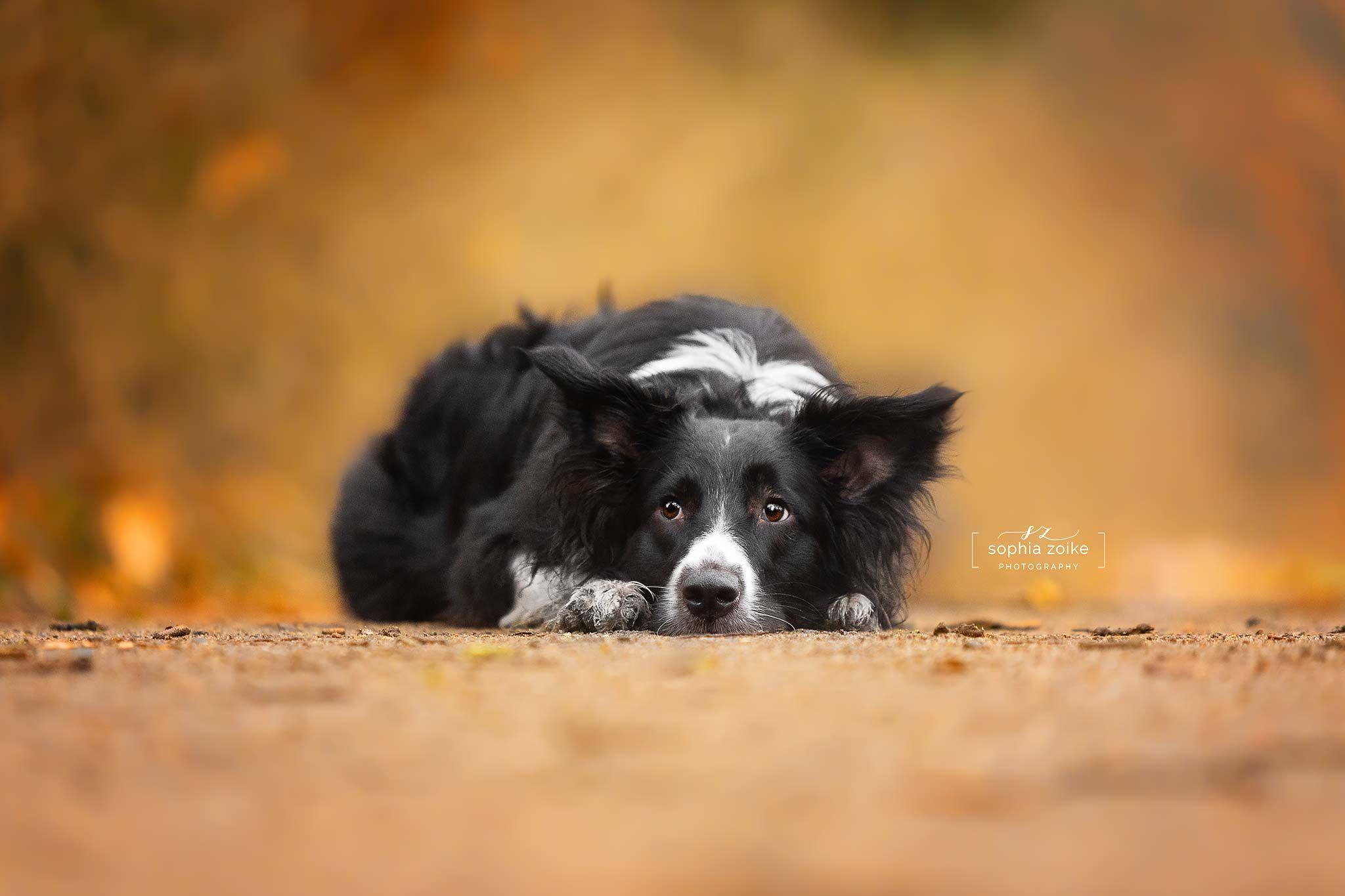 Australian Shepherd Saphira Hundefotografie Hundeshooting Potsdam Berlin Und Brandenburg Australian Shepherds Australian Shepherd Hund Hundefotografie