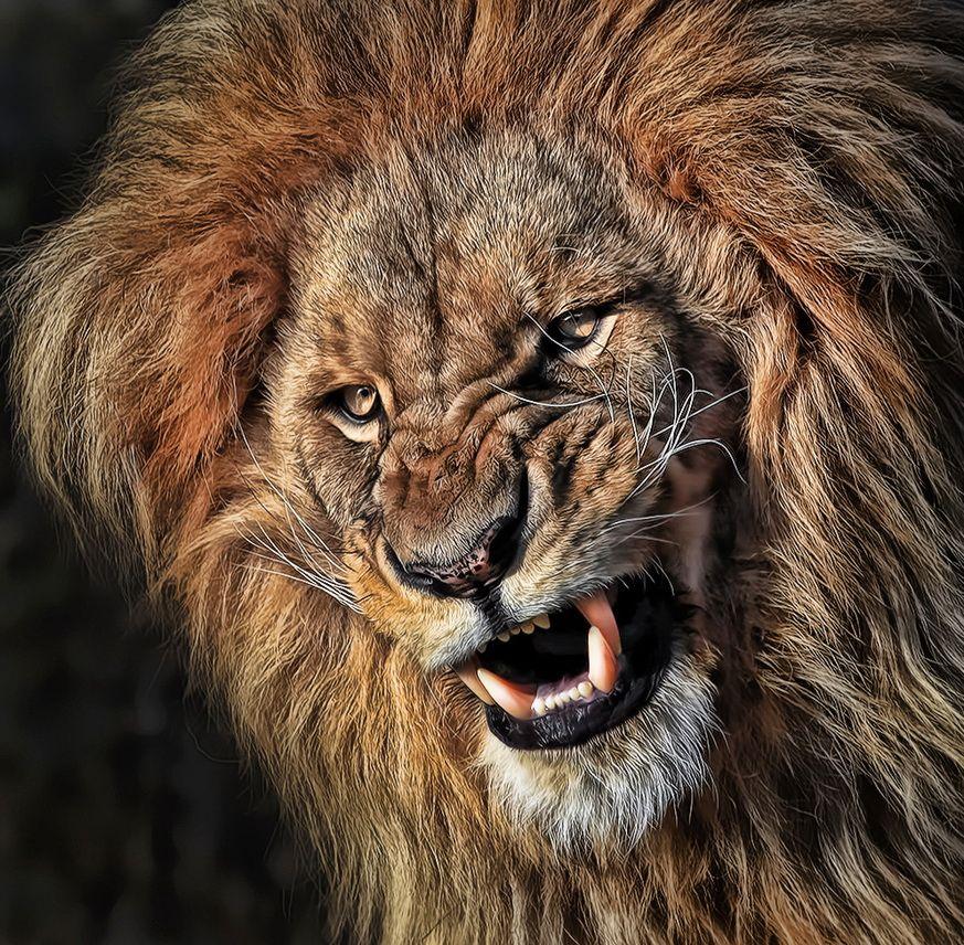 тюль фото самых крутых львов очень твердый материал