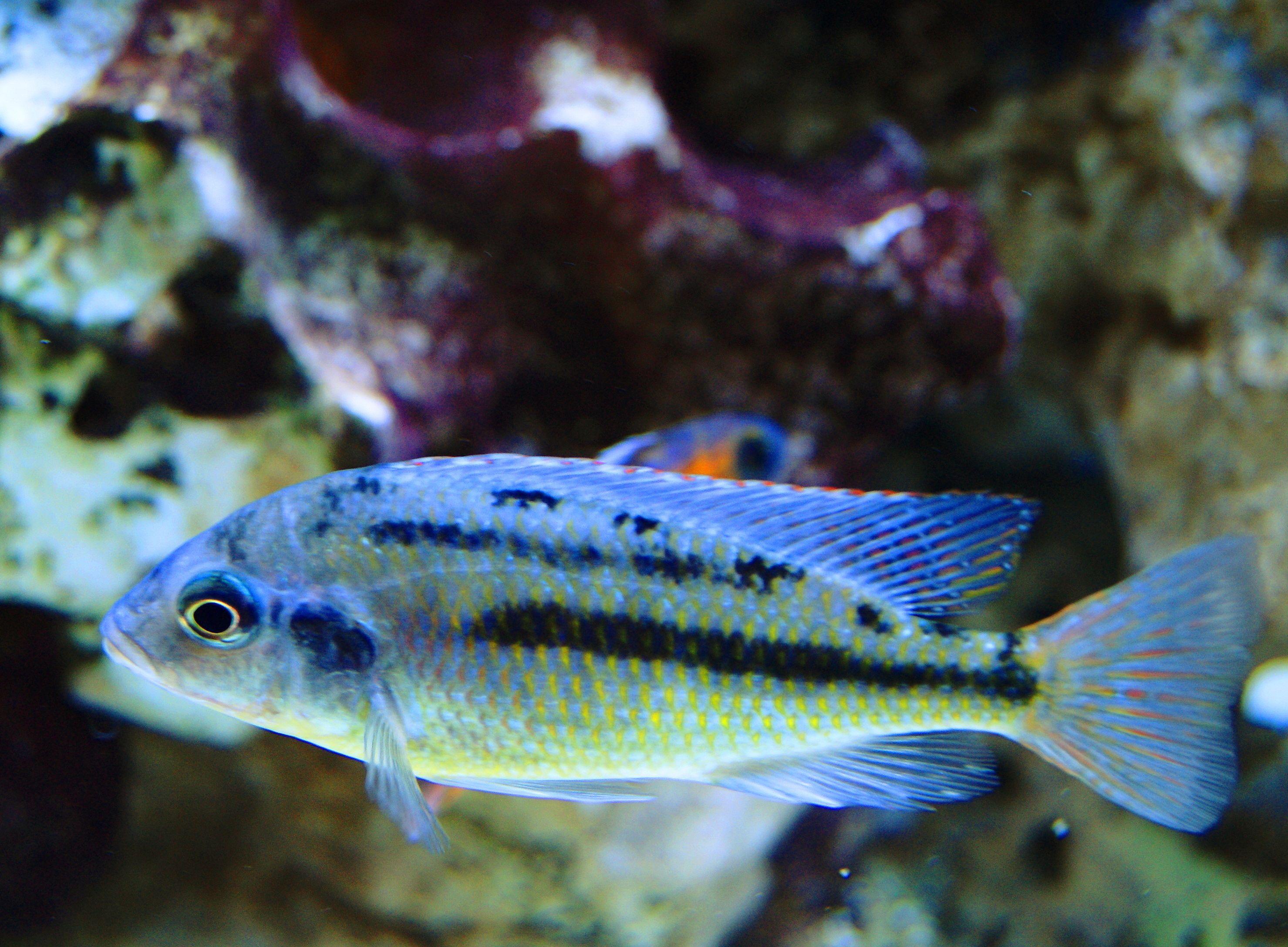 Protomelas Taeniolatus Red Empress Cichlid Protomelas Taeniolatus Red Super Red Empress Cichlid Starting To Color Cichlids Aquarium Fish Freshwater Aquarium