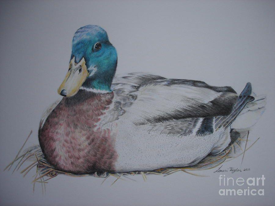 Mallard Duck Pencil Drawing | Sitting Duck by Laurianna ...