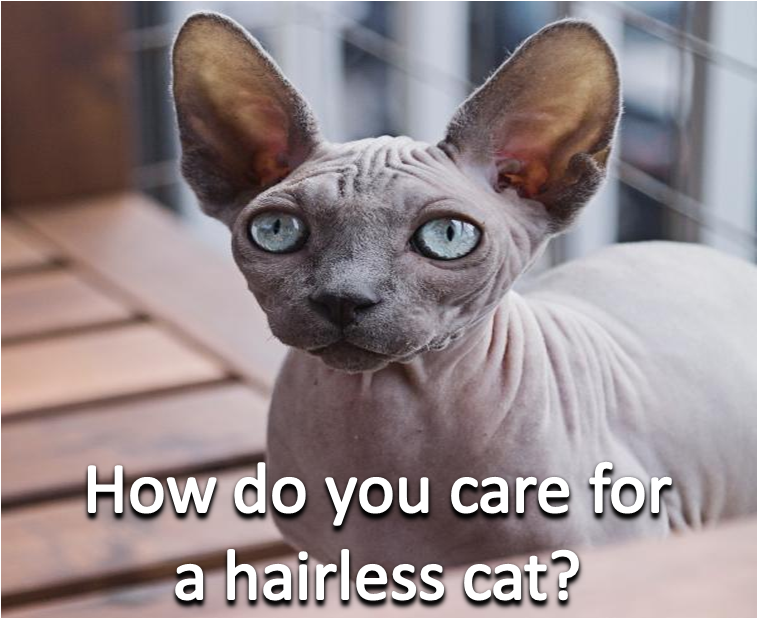 How do you care for a hairless cat? Small cat breeds