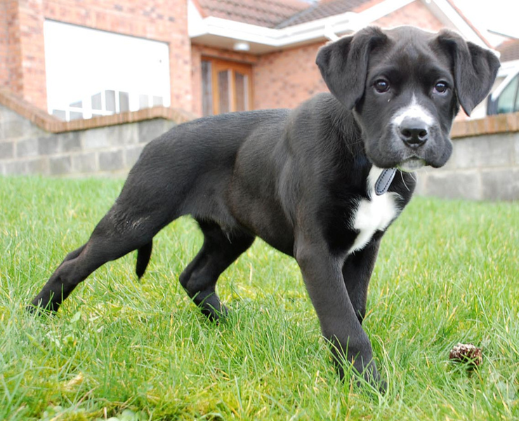 Beautiful Boxador Puppy In Black With White Patterns Png Boxador Puppies Labrador Mix Labrador Retriever