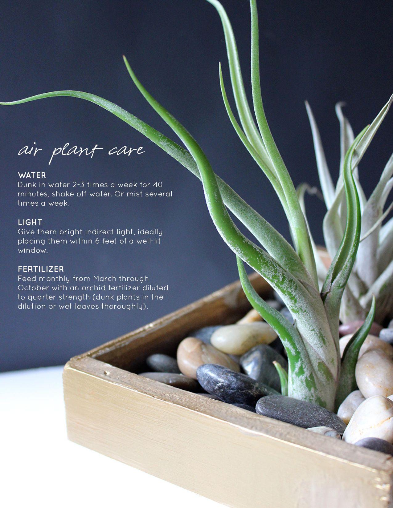 DIY Air Plant Centerpiece Plant centerpieces, Plants