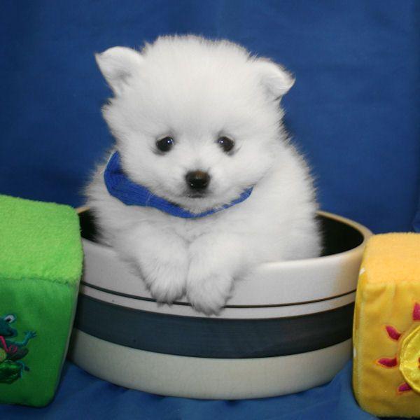 Pomeranian Puppies For Sale In Utah Zoe Fans Blog Pomeranian