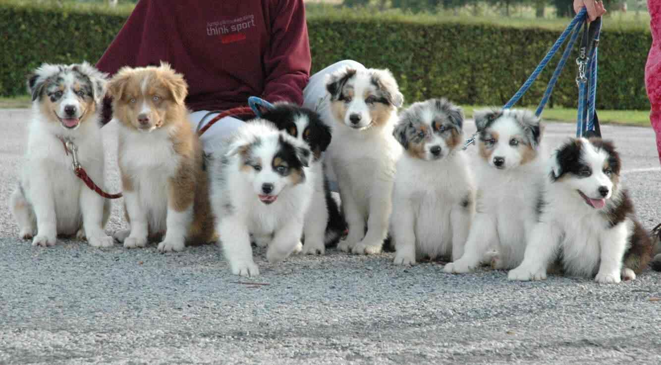 Aussies Puppies