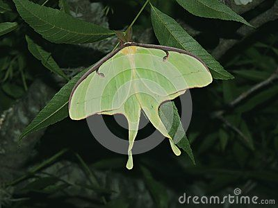 This lunar moth is hanging around in the trees at dusk laying eggs.