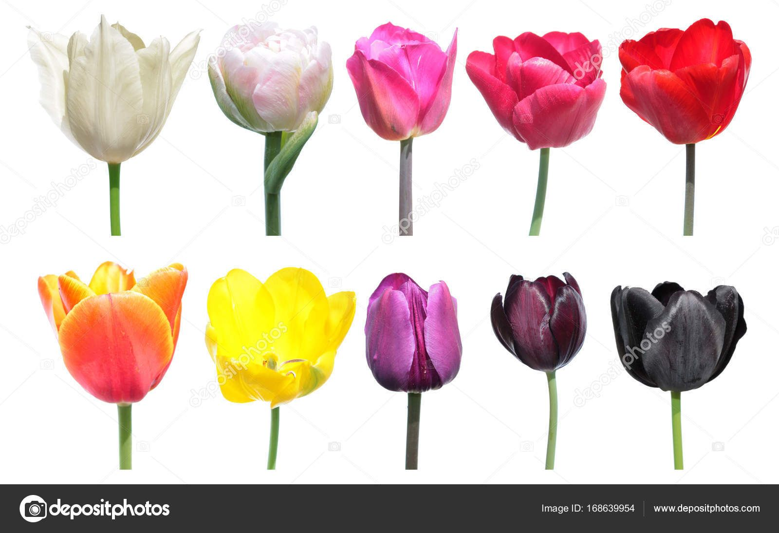 Variety Of Colors Of Tulip Flowers Color Palette Is An Example Of The Color Change In Tulip Flowers Set Of Different Tulip Tulips Flowers Tulips Color Change