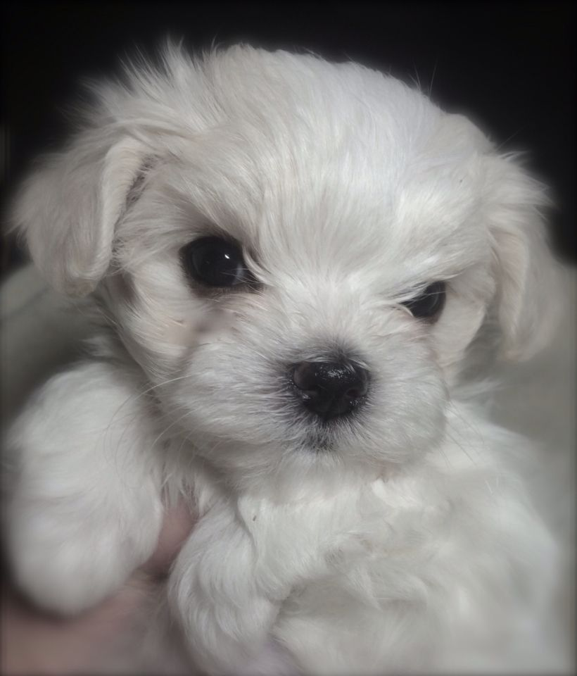 Maltese Coby Cute Animals Animals Friends Puppies