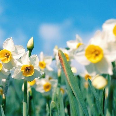 Daffodil Meaning And Symbolism Ftd Com Daffodils Benefits Of Gardening Planting Bulbs