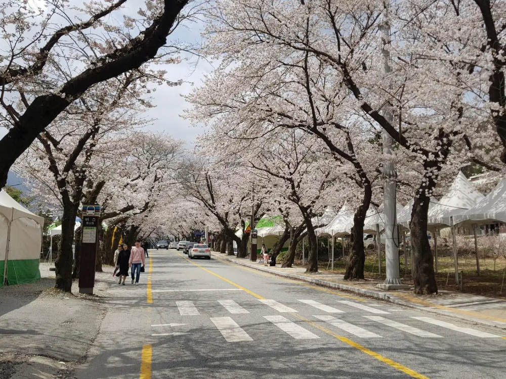 Cherry Blossoms In Korea Seoul All The Best Blossoms Cherry Blossom Cherry Blossom Festival Blossom
