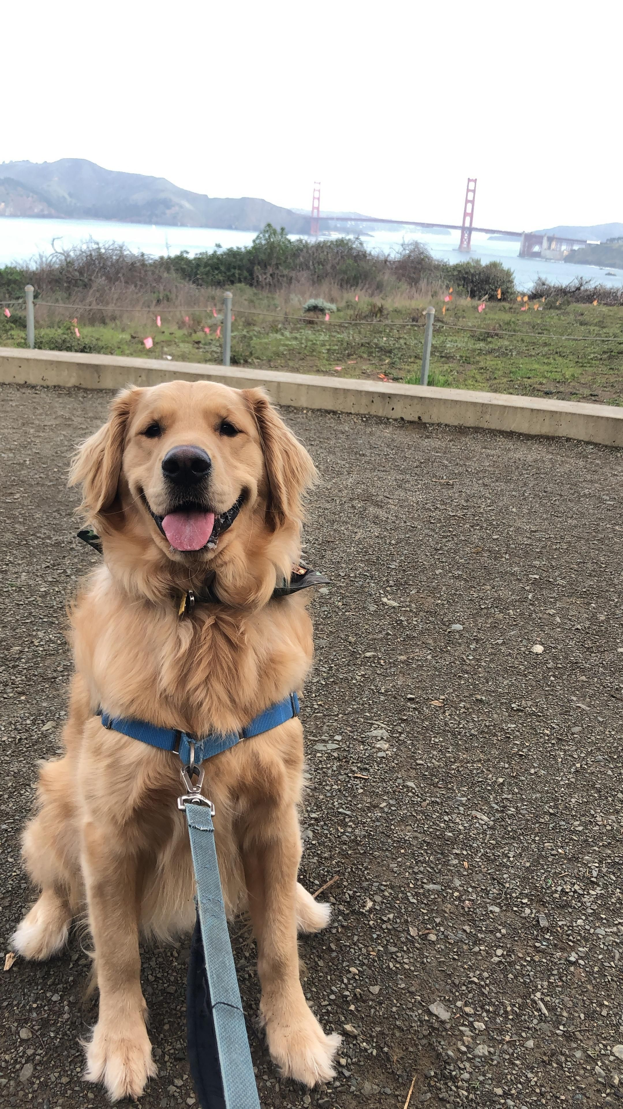 Teddy Was Confused Why There Werent More Goldens At Said Golden