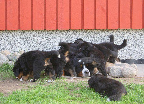The Joy Of Motherhood Bernese Mountain Dog Dog Cat Cute Animal Pictures