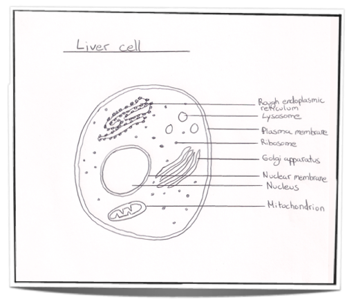 Ib Biology Notes 2 3 Eukaryotic Cells 2 3 1 Draw And Label A