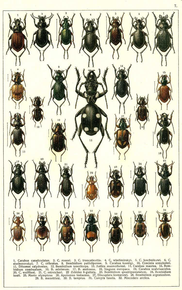 20. Carabus wulffiusi. 21. Carabus estreicheri. 22. Zebidea 8-guttata. 23. Bembidium quadripustulatum. 24. Bembidium hasti. 25. Morio olympicus. 26. Apotomus testaceus. 27. Discoptera komarowi. 28. Bembidium argenteolum. 29. Bembidium menetriesi. 30. Bembidium lampros. 31. Corsyra fusula. 32. Miscodera arctica.