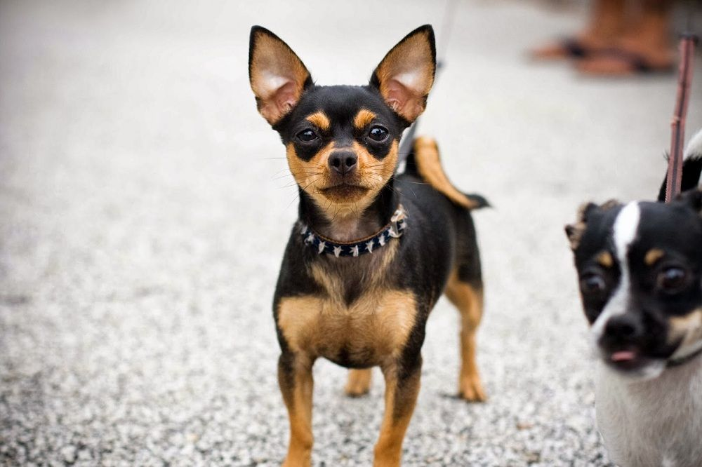 Deer Head Chihuahua Breed Information
