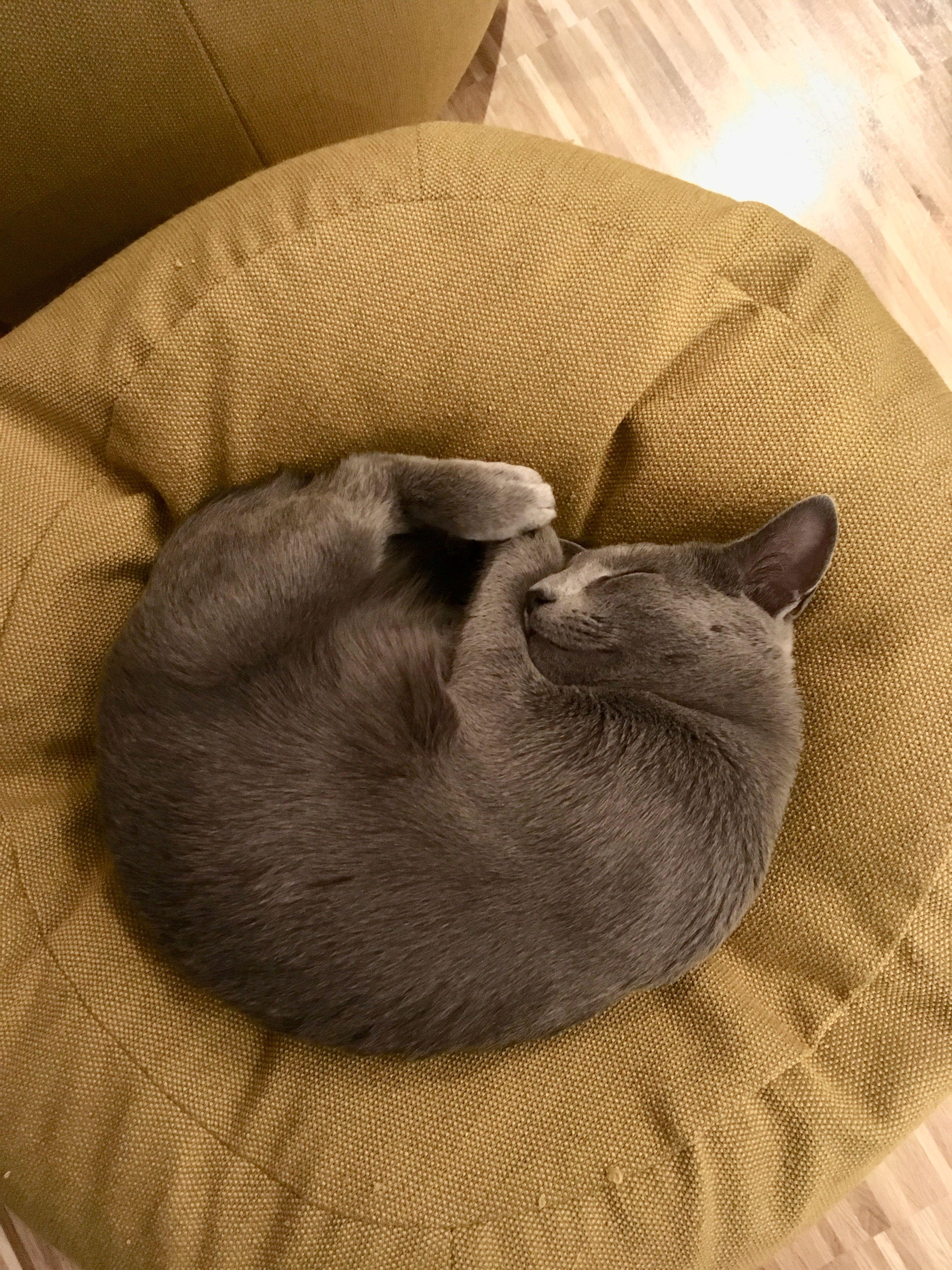 Pin By Lulu532 On Russisch Blau Russian Blue Cat Grey Cats Russian Blue