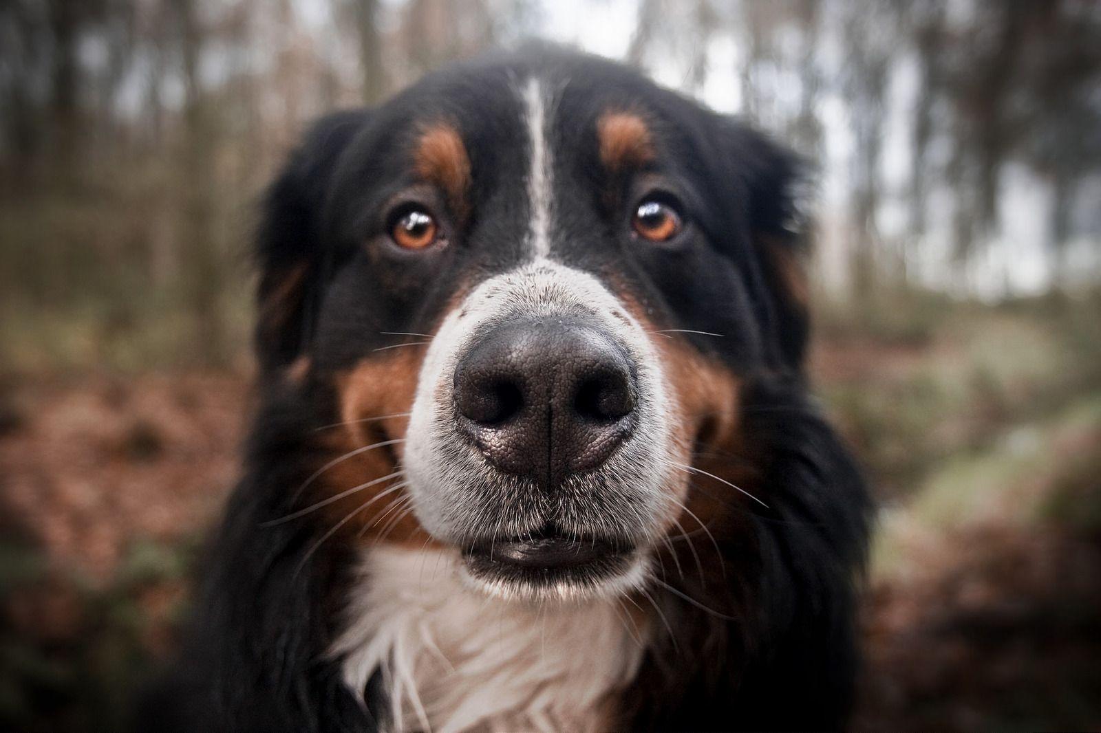 Clint - Bernese Mountain Dog / Berner sennenhond | by JAVGA