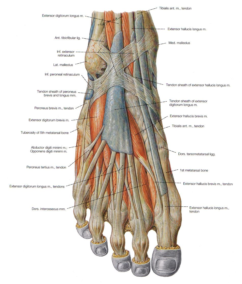 Muscles Of The Dorsal Foot Anatomy Pinterest Anatomy Foot