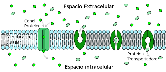 Que Es La Difusion Facilitada Caracteristicas Principales Membrana Plasmatica Transporte Pasivo Ciencias De La Tierra