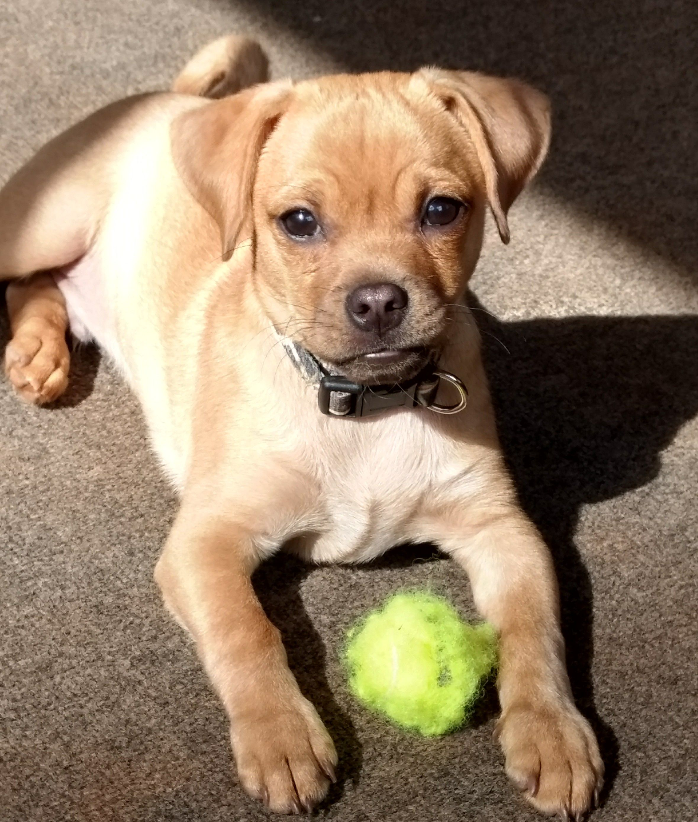Gabbo Is A Chihuahua Pug Cross Cute Chihuahua Chihuahua Funny