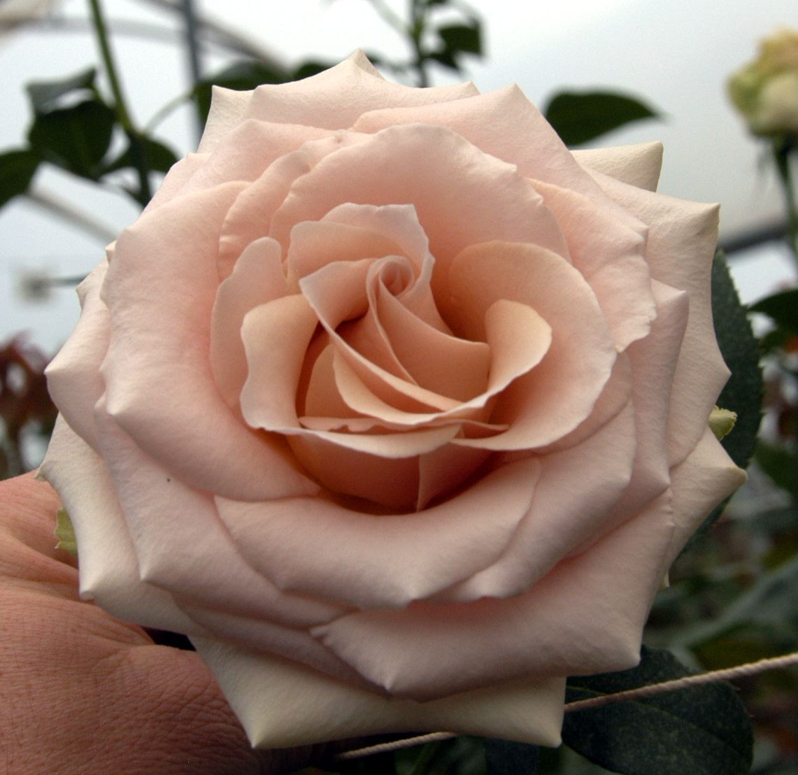 With an on-trend neutral color palette that's both romantic and sophisticated, Quicksand spans a close range of delicate, neutral tones. Her dark cream petals are infused with a soft, sandy blush color reminiscent of pink clay. Learn more about this variety at #quicksandroses #gardenroses #rose #flowers
