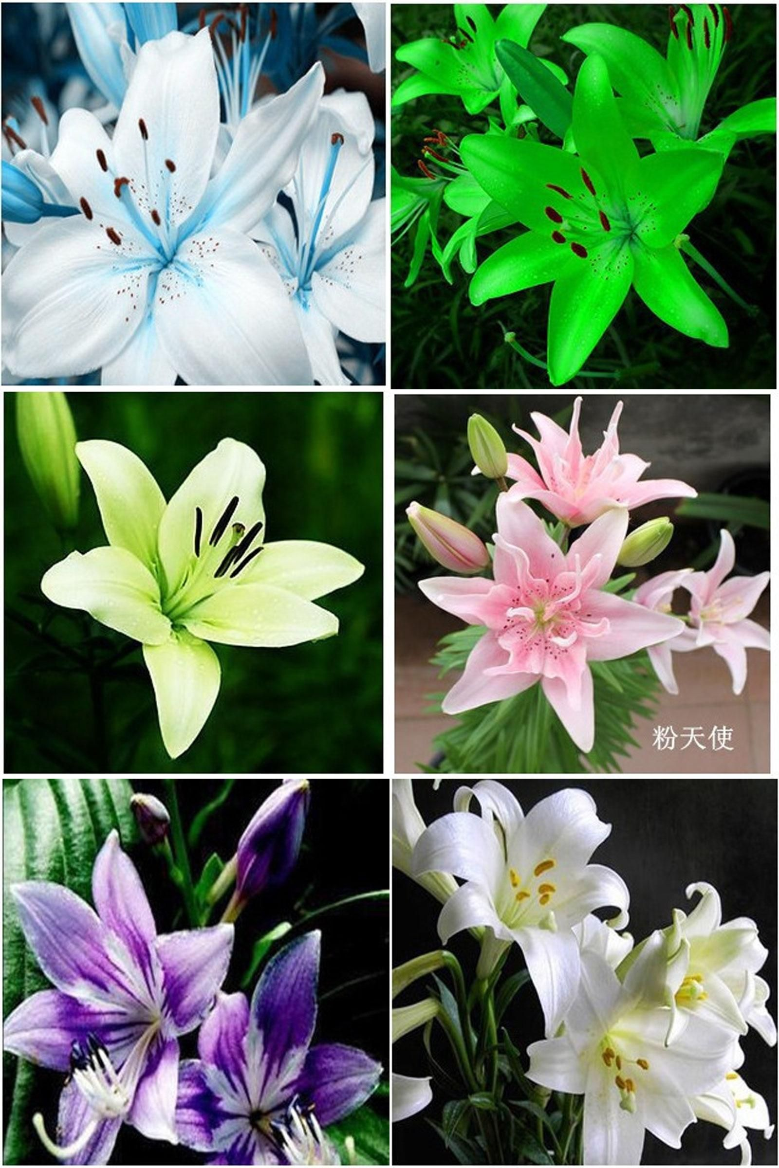 Visit to buy lily bulbs cheap perfume lily seeds yellow white red visit to buy lily bulbs cheap perfume lily seeds yellow white red izmirmasajfo