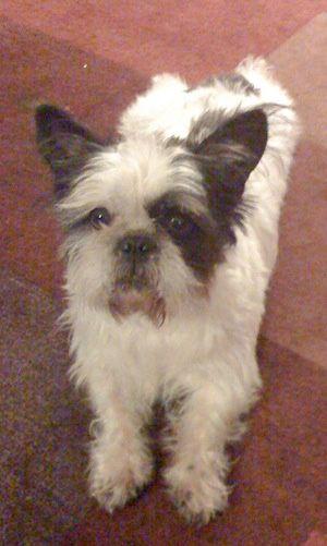 Frenchie Shitzu Hahahaha Hybrid Dogs Dog Rules Dogs