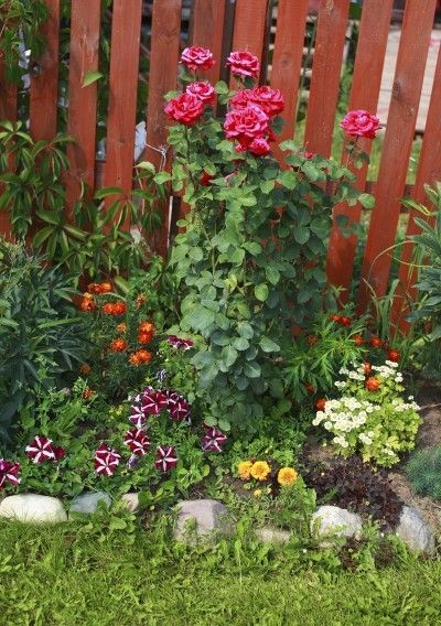 Underplanting Rose Companions Suggestions For Plants That Grow Well Under Roses Rose Companion Plants Rose Garden Design Growing Plants