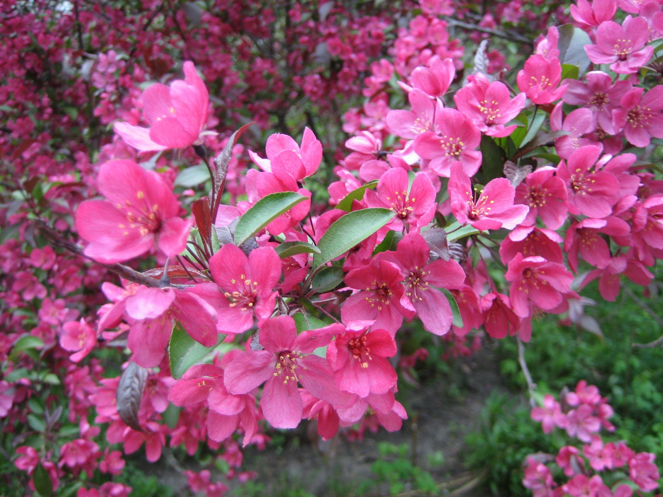 flowering Crabapple Tree